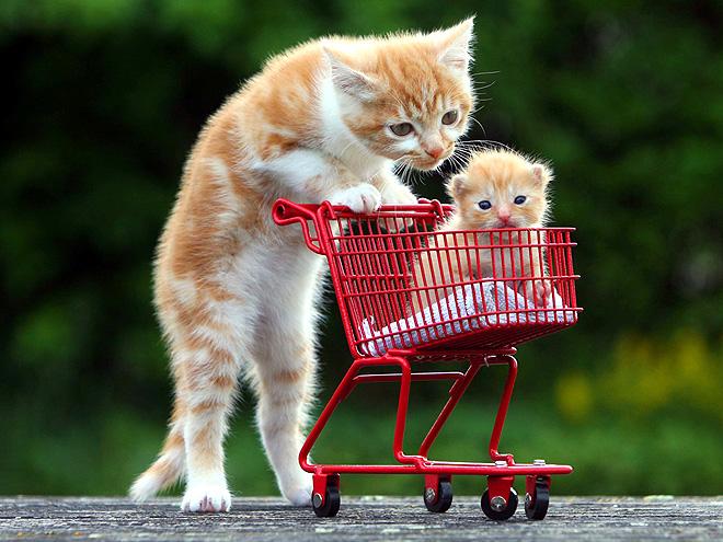 kitten-cart-660