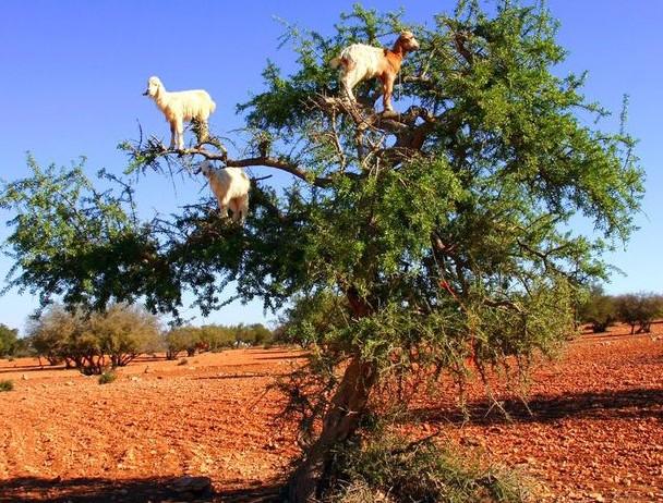 1373322296000-1-climbing-goats-shutterstock-1307081829_4_3_rx513_c680x510