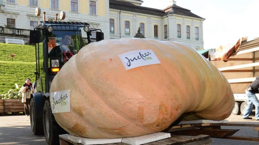 Forklifle taşınan bu kabak fotoğrafı Isviçre'den... Ağırlığı 1053,5 kilo...