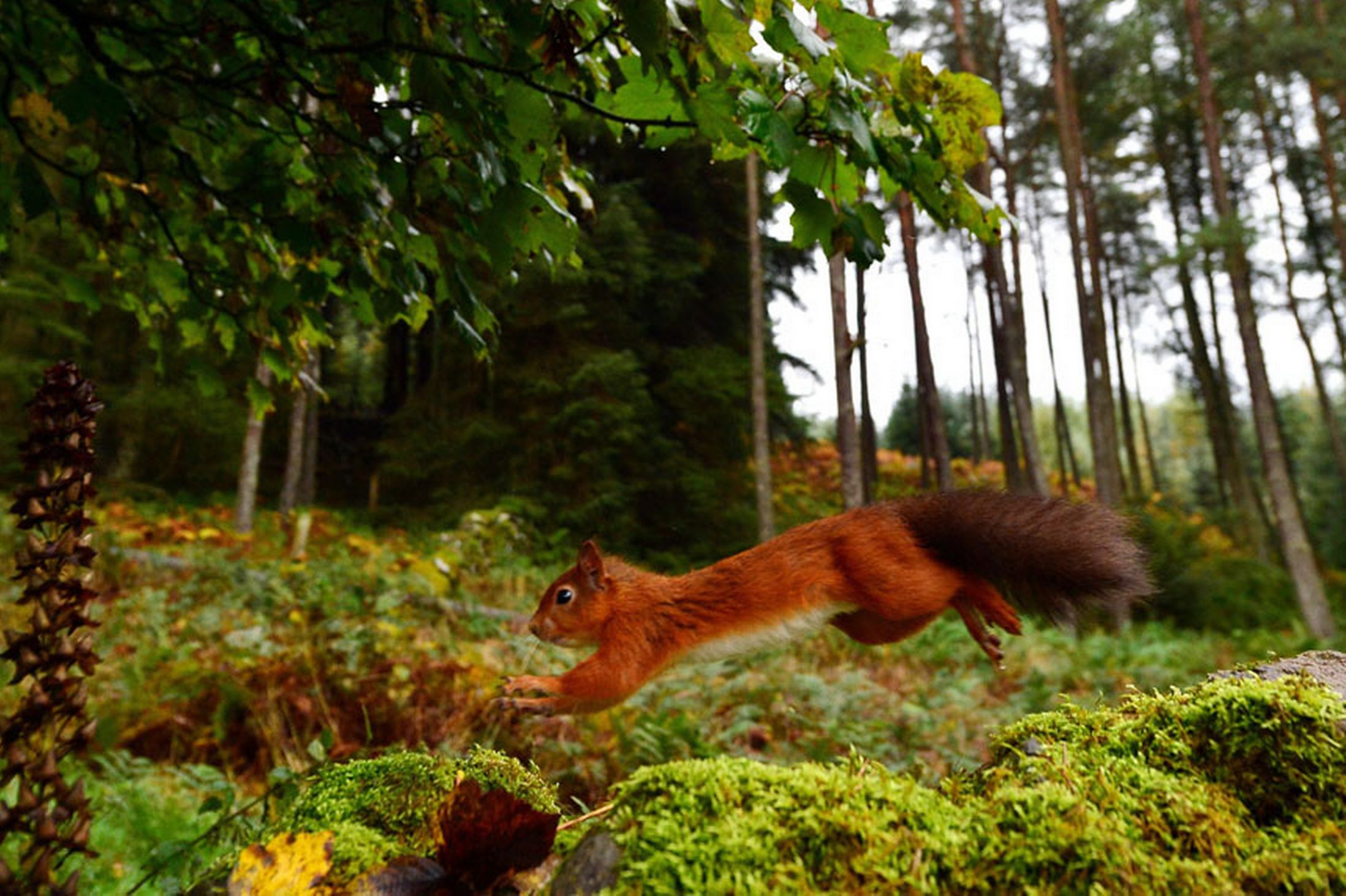 A-Red-Squirrel-darts-along-a-stone-wall-in-Kielder-Forest-Northumberland-21st-October-2641160