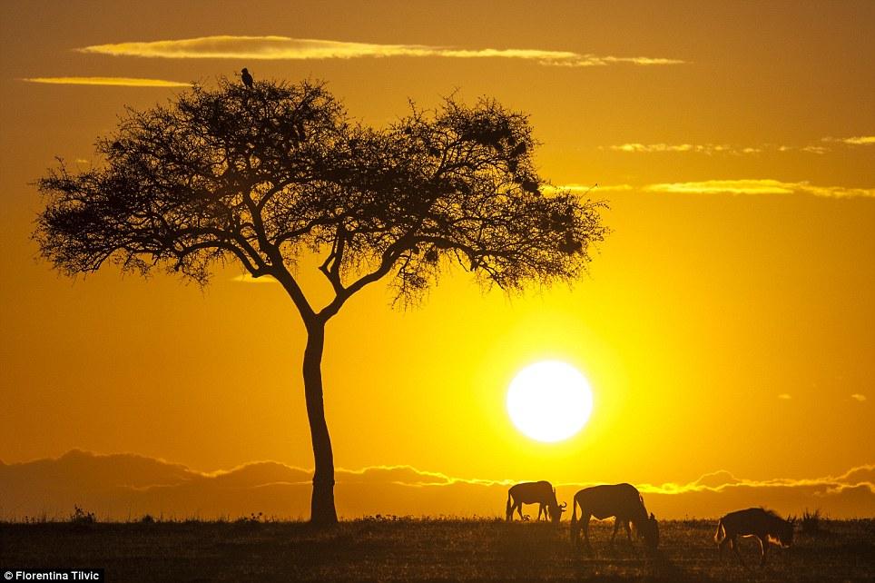 Kenya Masai Mara'da gün doğuyor, hayvanlar sabah kahvaltısı yapıyor!